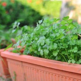 hierbas-de-jardineria